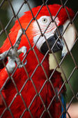 Macaw in the birdcage — Stock Photo