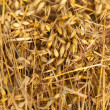 Close-up of freshly cut oat. - Stock Photo