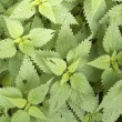 Nettle background - Stock Photo