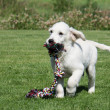 Golden Retriever Puppy running with tug rope — Stock Photo