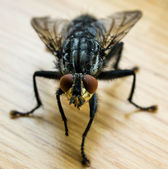 Common House Fly — Stock Photo