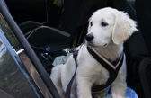 Golden Retriever Puppy in car — Stock Photo