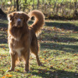 Stock Photo: Novscotiduck tolling retriever
