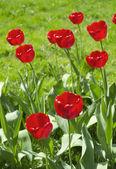 赤いチューリップ — ストック写真