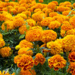 Flowerbed of orange marigolds - Stock Photo