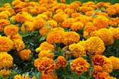 Flowerbed of orange marigolds — Stock Photo