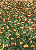 Yellow with red tulips — Zdjęcie stockowe