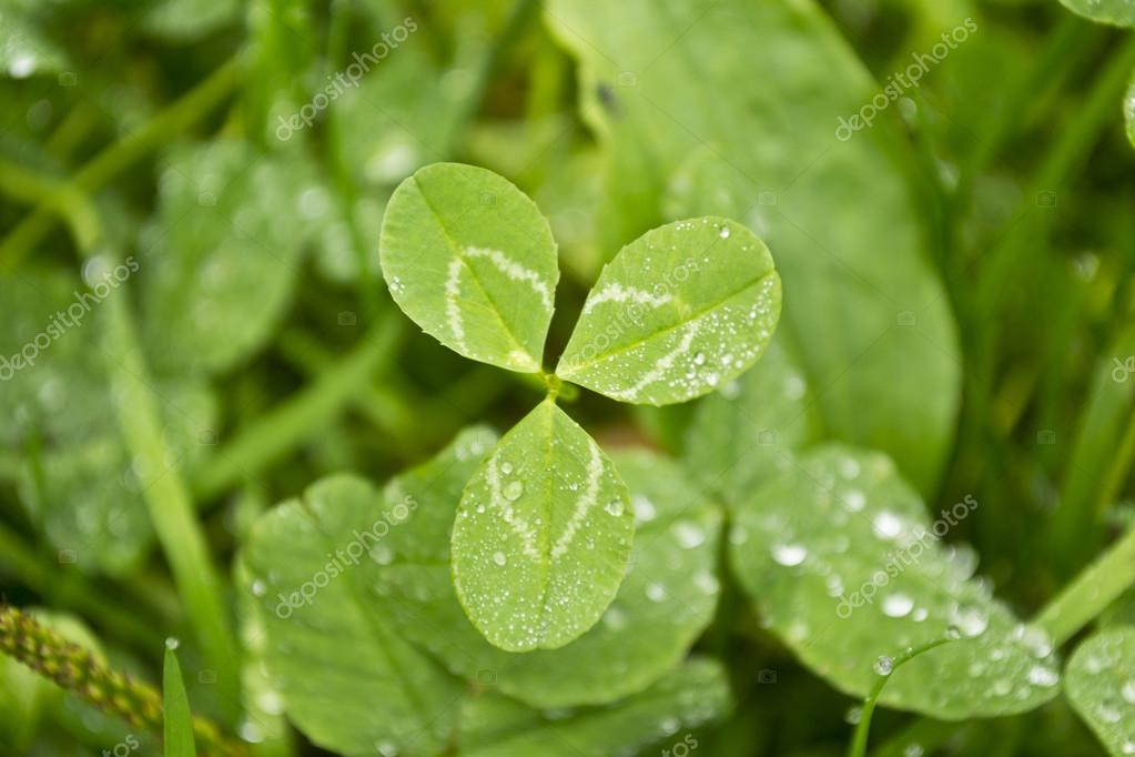 Clover (Trifolium) — Stock Photo #12836415