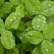 Stock Photo: Clover with dew (Trifolium)