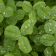 Clover with dew (Trifolium) — Stock Photo