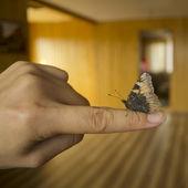 Borboleta saturniidae no dedo indicador — Foto Stock