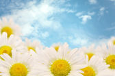 Daisies on a background — Stock Photo