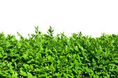 Hedges of boxwood — Stock Photo