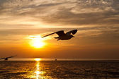 Seagull with sunset in the background — Stock Photo