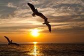 Mås med solnedgången i bakgrunden — Stockfoto