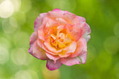 Blossom pink roses on green bokeh abstract — Stock Photo