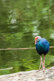 Endangered species Pukeko (Porphiro Porphiro) Gallinule — Stock Photo