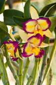 Beautiful purple orchid — Stock Photo