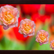 Blossom pink roses on bokeh abstract in picture frame — Stock Photo