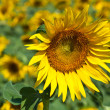 Sunflower close up — Stockfoto
