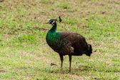 Green beautiful peacock — Stock Photo