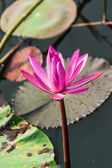 The Lake of water lily — Stock Photo