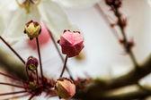 Wishing Tree, Pink Showe, Cassia Bakeriana Craib, Beneath a tree — Stock Photo
