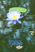 Lotos na rzece — Zdjęcie stockowe