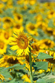 Sunflower close up — Stock Photo