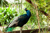 Green beautiful peacock — Stock Photo