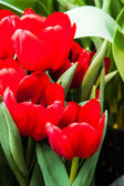 Coloridos tulipanes — Foto de Stock