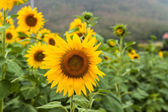 Agriculture stock image - Sunflower field — Stock Photo