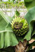 Kilka dojrzewania bananów na drzewo — Zdjęcie stockowe