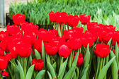 Colorful tulips — Stock Photo