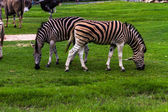 Wild Zebra — Stock Photo