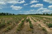 Maniok oder Maniok-Pflanze-Feld in thailand — Stockfoto