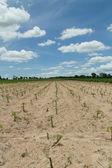Cassava or manioc plant field in Thailand — Stock Photo