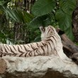 WHITE TIGER on a rock — Foto Stock