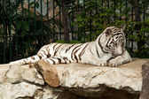 WHITE TIGER on a rock — Stock Photo