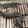 Water monitor lizard (varanus salvator — Stock Photo