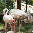 Stock Photo: Flocks of flamingo