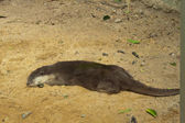 The otter sleeping — Stock Photo
