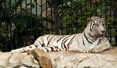 Biały tygrys na skale — Zdjęcie stockowe