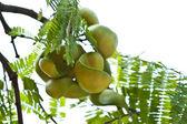 Meyve ve meyve ağacı üzerinde — Stok fotoğraf