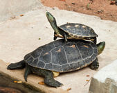 Hermann's Tortoise — Stock Photo