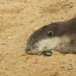 Otter sleeping — Stock Photo #33063343
