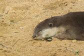 The otter sleeping — Стоковое фото