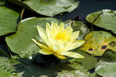 Lotus flower blossom — Stock Photo