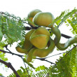 Fruits and fruit on the tree — Stock Photo