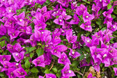 Bougainvillea paper flower — Stock Photo